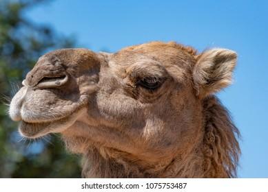 Close-up portrait of a dromedary (Camelus dromedarius)