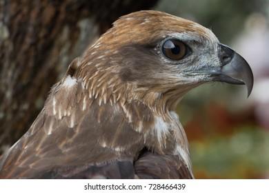 Closeup portrait of eagle