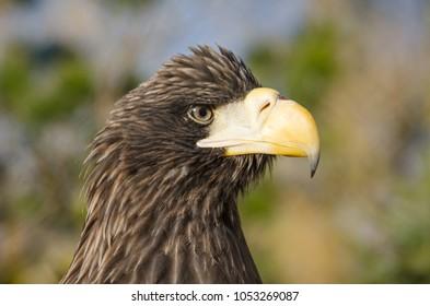 Closeup portrait of eagle in Toronto zoo, Ontario, Canada