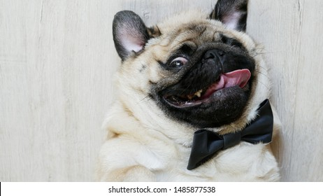 Close-up portrait of elegant funny pug dog tongue sticking out and lying on the back dressed in a bow tie for a wedding, birthday or as an office worker, relaxed and tired
