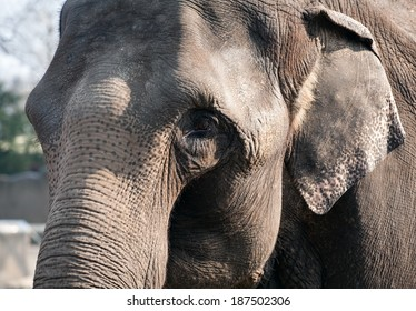 closeup portrait of elephant, sad eye and skin details