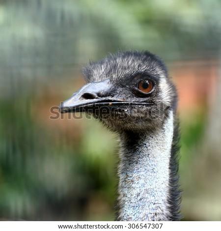 Emu Attack Video