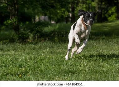 Closeup portrait of English Pointer dog