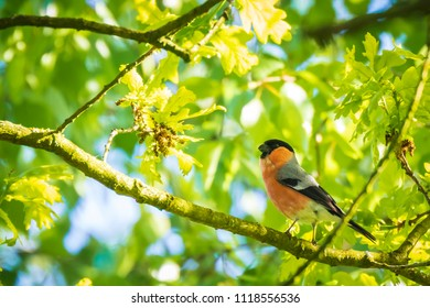 Closeup portrait of a Eurasian bullfinch, common bullfinch or bullfinch (Pyrrhula pyrrhula) display and searching for a mate during Spring season. Singing in the early morning sunlight.
