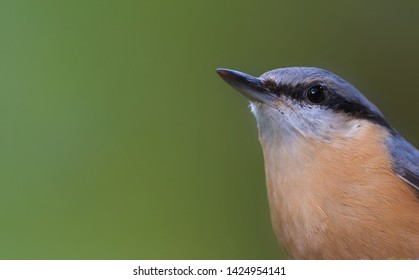 Close-up portrait of an Eurasian Nuthatch (Sitta europaea), forest of Fontainebleau, France