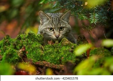 Close-up portrait of  European Wildcat, Felis silvestris,  lurking for prey  in wet european autumn forest hidden behind mossy stump against blurred fallen leaves.
