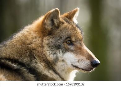 Closeup portrait of a european wolf