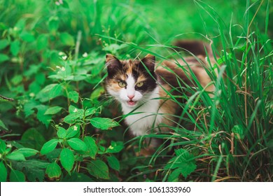 Closeup portrait of face of beautiful young angry looking cat hiding among fresh green grass. Cat with open mouth stares at camera outside. Horizontal color photography.