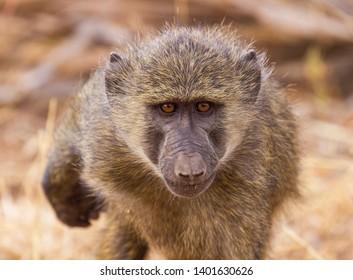 Close-up portrait face olive baboon, anubis baboon, Papio anubis, blurred background, gold eyes, Samburu National Reserve, Kenya, East Africa. Lean in