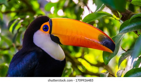 closeup portrait of the face of a toco toucan, tropical bird specie from America
