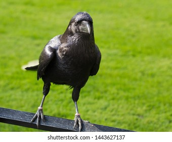 Closeup portrait of famous black raven of the Tower of London, UK on the green grass background looking at the camera