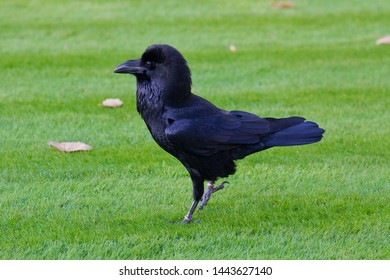 Closeup portrait of famous black raven of the Tower of London, UK on the green grass background
