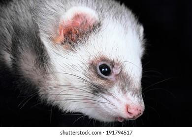 Close-up portrait of female ferret (Mustela putorius furo)