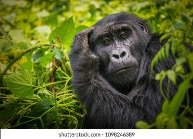 A close-up portrait of a female mountain gorilla, showing the details of her facial features, in its natural forest habitat of Bwindi Impenetrable National Park in Uganda.