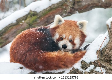 Close-up portrait of fluffy red panda in winter. Lesser panda or firefox (Ailurus fulgens) resting on snow-covered tree.