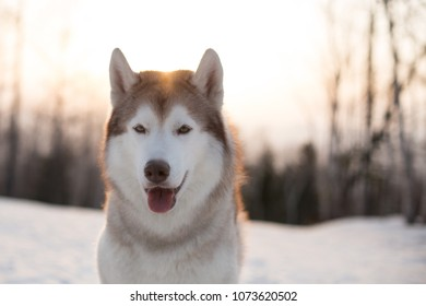 Close-up portrait of free and beautiful dog breed siberian Husky sitting on the snow in winter forest at golden sunset. Image of gorgeous beige and white Husky topdog looks like a wolf