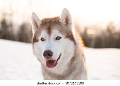 Close-up portrait of free and young dog breed siberian Husky sitting on the snow in winter forest at golden sunset. Image of beautifyl beige and white Husky topdog looks like a wolf