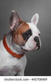 close-up portrait of a french bulldog