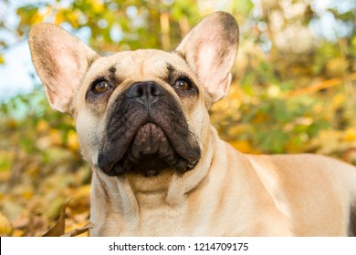 Closeup portrait of a French bulldog of fawn color against the background of autumn leaves and grass