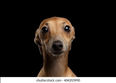 Closeup Portrait of Funny Italian Greyhound Dog Looking in Camera on Black isolated background, Front view