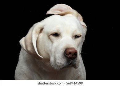 Close-up Portrait of Funny Labrador retriever dog shake head, with flying ears, on isolated black background, front view