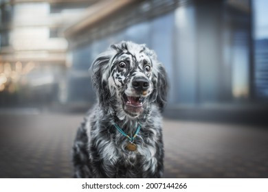 Close-up portrait of a funny male english setter catching a bite of treats against the backdrop of blue glass facades of city buildings