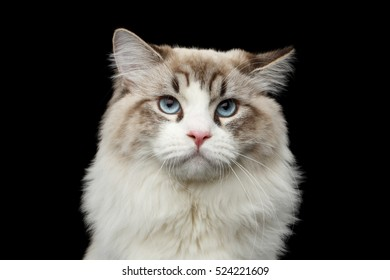 Close-up portrait of Funny Siberian cat with blue eyes looking in camera on isolated black background