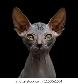 Close-up Portrait of Funny Sphynx Kitten Curious Gazing Isolated on Black Background, front view