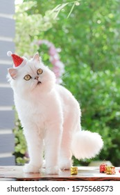 Close-up Portrait of Furry British Cat Chinchilla.Cute cat , white cat Chinchilla in red christmas hats.has a background of nature Soft focus with blurred background.