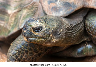 Closeup portrait of a Galapagos Tortoise.