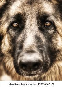 Closeup portrait of german shepherd, cute adult domestic animal, best friend for human, beautiful pedigreed dog face
