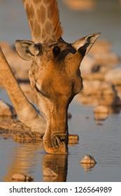 Close-up portrait of a Giraffe drinking ; Giraffa camelopardalis