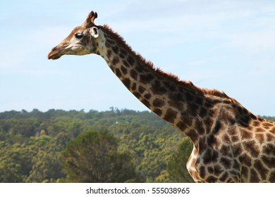 A close-up portrait of a giraffe at Kragga Kamma Game Park, South Africa