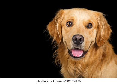 Closeup portrait of Golden Retriever dog with open mouth and smile over black