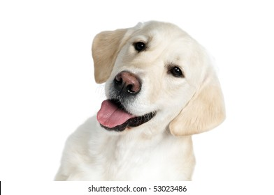 closeup portrait of Golden Retriever dog with open muzzle isolated