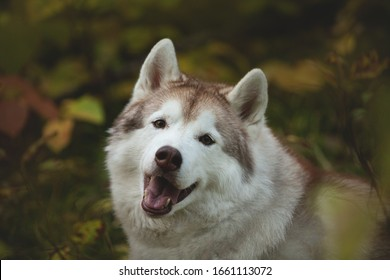 Close-up Portrait of gorgeous Beige and white Siberian Husky sitting in the bright forest in fall season