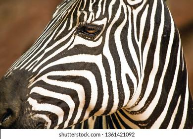 Closeup Portrait of a Grant's Zebra posing at the zoo