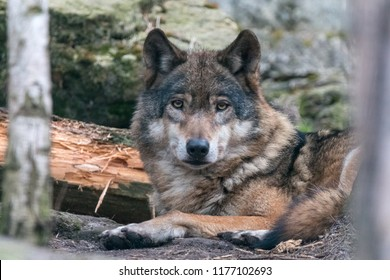 Close-up portrait of gray wolf (Canis lupus) with blurred background. Beautiful predator timber or western wolf lying on the groung.