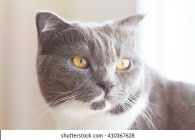 closeup portrait of a grey cat with ,with Vintage Tones