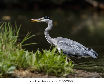 Close-up portrait of grey heron in grass.