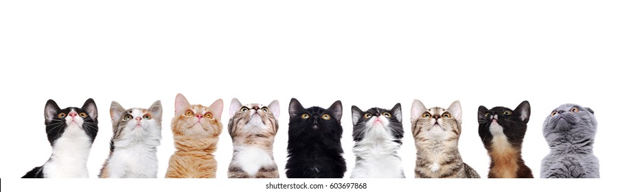 closeup portrait of a group of cats of different breeds looking up to the copy space area isolated on white background
