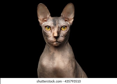 Closeup Portrait of Grumpy Sphynx Cat with Yellow eyes Front view Isolated on Black Background