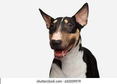 Close-up Portrait of Happy Bull Terrier Dog smile on isolated White background, front view