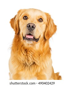 Closeup portrait of a happy and smiling Golden Retriever dog over white