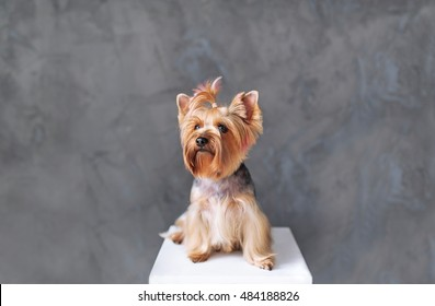Closeup Portrait of Happy Yorkshire Terrier Dog on grey background.