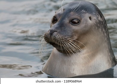 Close-up portrait of Harbor or common seal (Phoca vitulina) in the water. Cute marine animal with funny face and big black eyes.