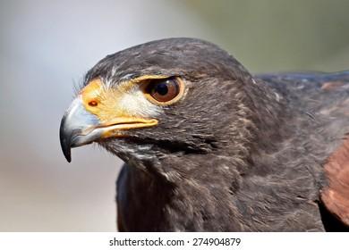Closeup portrait of the Harris hawk (Parabuteo unicinctus)