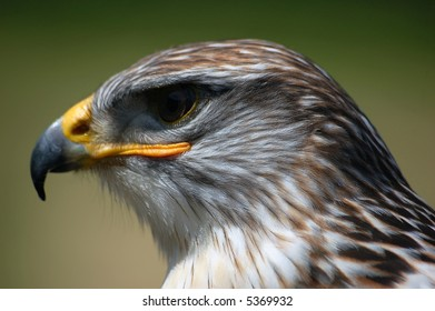 Close-up portrait of a Hawk with a green backgroung