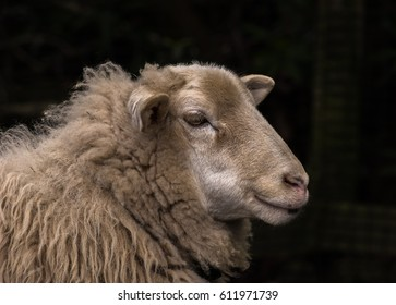 Closeup portrait of the head of a domestic sheep (Ovis aries) against a dark background.