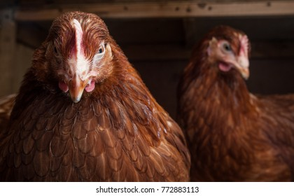 Close-up portrait of a hen in a chicken coop